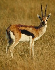 Thomsons Gazelle (2)
